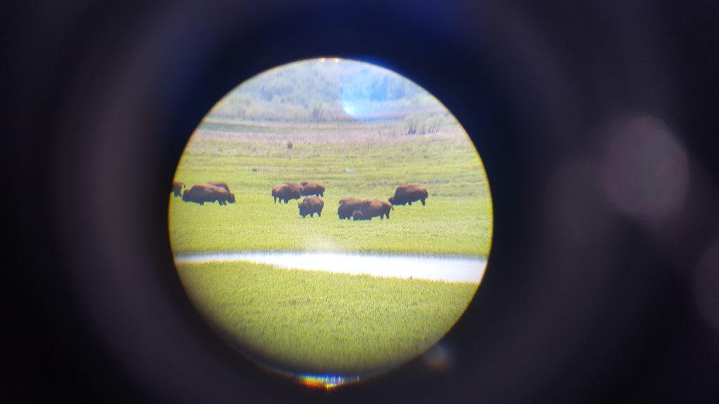 La Chua Trail Bison #1