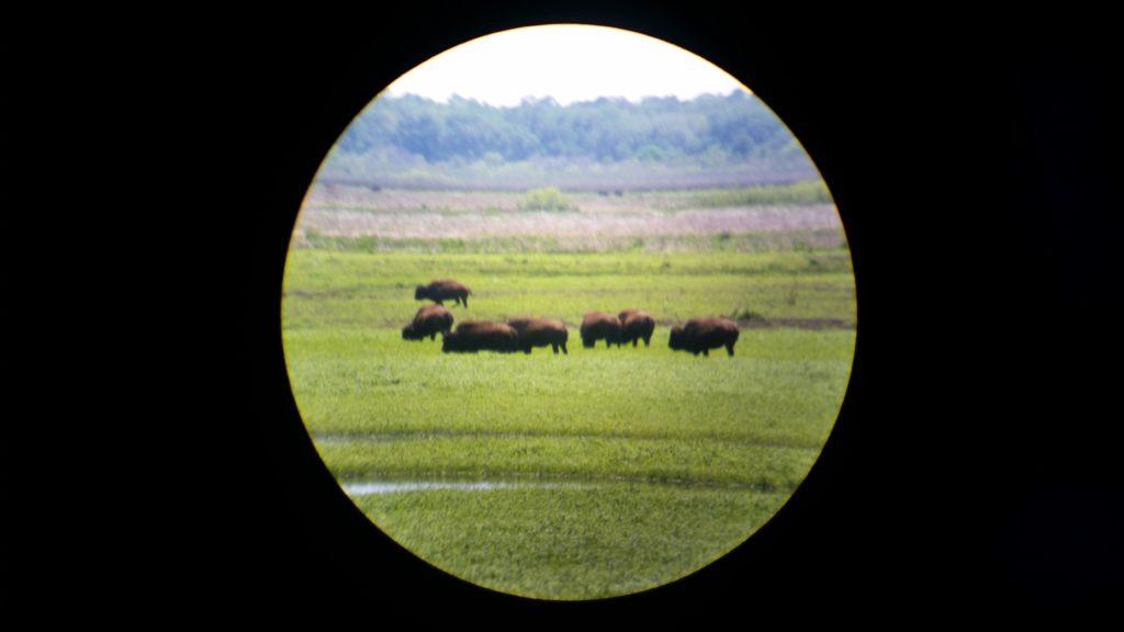 La Chua Trail Bison #2