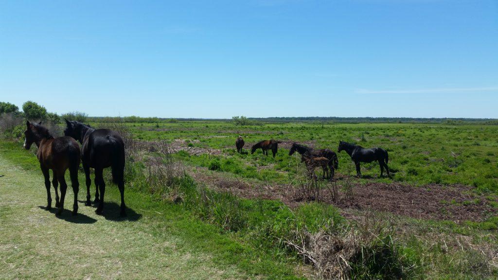 La Chua Trail Wild Horses #2